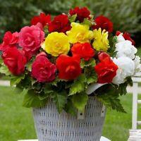 Seeds Wax Begonia Mix Large Flower Indoor Perennial Ukraine