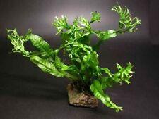 Windelov Fern-for live plant pleco aquarium fish B6