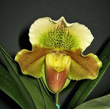 Paph. Joan Thomas x Chloe Rhodes etc etc etc Orchid Plant in bloom