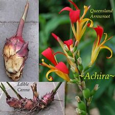 ~ACHIRA~ Edible Tuber Canna edulis ~Queensland Arrowroot~ Live Sml Potted Plant