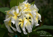 """New listing Rooted Plumeria Tree Plant Cutting ~ Ammarons Curly White ~ 13"""" with 1 Tip"""