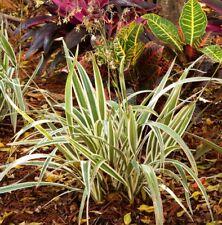 "Variegated Flax Lily - Dianella 'Variegata' -1 Plants - 8"" Tall - Ship in 3"" Pot"