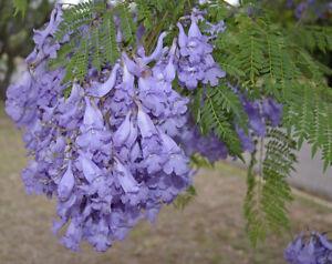 Blue Jacaranda Mimosifolia Fern Tree 60 Seeds