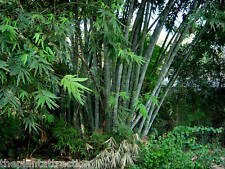 Dendrocalamus Strictus 10 Seeds, Male Bamboo, Solid Bamboo, Calcutta Bamboo /USA