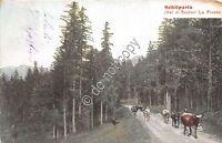 Cartolina - Postcard - Illustrata - Schilpario - Pineta - Mucche - 1907