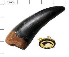 T-Rex LG Maxillary Tooth - Cast Replica, Dinosaur Tooth (SN8B)