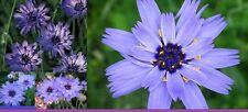 15x Cupid's Arrow Plant Flowers Seeds 2 Meter High Garden Blue Purple #190