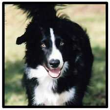 BORDER COLLIE - SOUVENIR NOVELTY COASTERS - EASY CLEAN - NEW / XMAS / GIFTS
