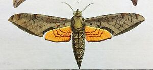 VERY RARE 1770 Dru DRURY Vol.I FOUR SPHINX MOTHS Handcolored/Copper Plate XXVIII