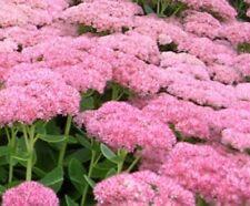 10 Big Healthy Autumn Joy Stonecrop Sedum Live Plants Perennial Hardy