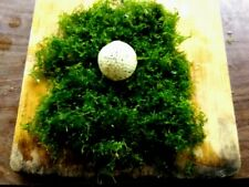 Java Moss-Large Portion-Now again Available