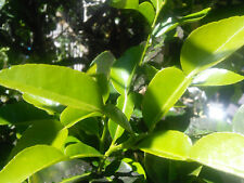 Fresh Organic Kaffir Lime Leaves : Citrus Hystrix : Thai Makrut : Fragrant Spice