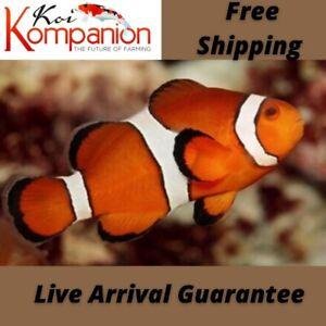 """1/3/5/10X Ocellaris Clownfish """"Nemo"""" Aquarium Koi Kompanion Free Shipping Marine"""