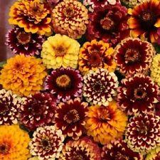 50+ Aztec Sunset Mix Zinnia Flower Seeds