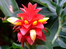 Costus Woodsonii - Red Button Ginger - Rare Tropical Plant Seeds (10)