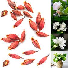 50 X New Gardenia Cape JASMINE Jasminiodes White Shrub Flower Seeds Plant Garden