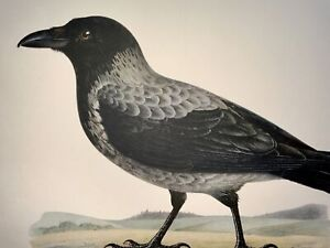 1918 Von Wright - CORVUS CORNIX Hooded Crow - Large Lithograph