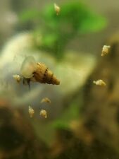 50+ Trumpet Snails Live Aquarium Snails small medium brown feeder high quality