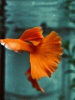 Live Guppy Fish -Albino Full Red- 1 Pair (Male & Female)