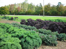 Kale, DWARF SIBERIAN, 8000 Heirloom, Non-gmo, gluten free, Seeds,FREE SHIPPING