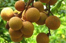 Longan Fruit Tree (Kohala) Tropical Fruit Tree