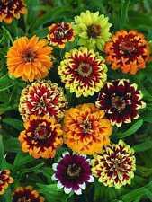 Zinnia haageana Persydskyy Carpet Flowers Seeds from Ukraine