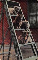 POSTCARD   CATS   A  Ladder  of  Mischief