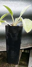 1 x Lambs Ear Stachys byzantina perennial herb plant tube size