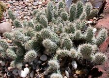 Winter Hardy Opuntia Miniature Prickly Pear Cactus Non Flowering Ground Cover!!!