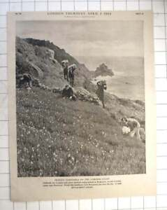 1954 Workers Picking Daffodils At Boskenna Near Penzance For London Market