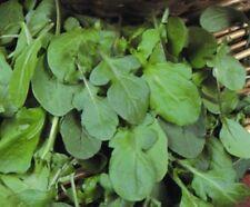 Herb - Suffolk Herbs - Salad Rocket Seed - Eruca sativa - Pictorial Packet