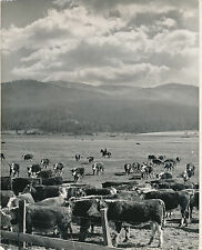 BOVINS c. 1950 - Cheptel de Bovins Hereford - GF 105