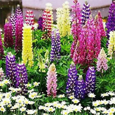 FD1577 Lupine Flower Seed Lupinus L. Flower Seeds~ Free Shipping ~1 Bag 15 Seeds