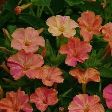 30+ Yellow and Red Bi-Color Four O' Clock MirAbilis / Perennial Flower Seeds