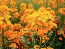 Honey Bee's Pollinator Wildflower Mix 18 Species of Wildflower Seeds 2500