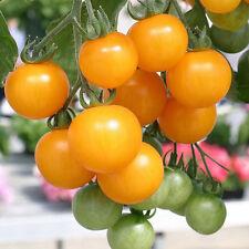 TOMATO Broad Ripple Yellow Currant Heirloom Seeds (V 380)