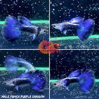 2x MALES - Fancy Purple Dragon Guppy - Live Aquarium Guppy Fish - Breed in USA
