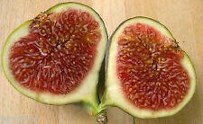 50 Fig Seeds Ficus  Sweet Fresh Organic From Jerusalem  Israel Carica Moraceae