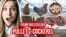 14 BIELEFELDER FERTILE HATCHING CHICKEN EGGS Greenfire Farms Imported Lines NPIP