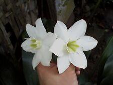 """""""10 Eucharis Amazonica Bulbs""""Amazon Lily-Amaryllis family~White fragrant Blooms"""