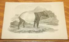 1827 Antique ANIMAL Print//MALAY TAPIR
