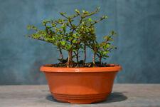 Mini Forest Planting of 6 Dwarf Black Olive Pre-Bonsai Tree! Very Tiny Leaves!