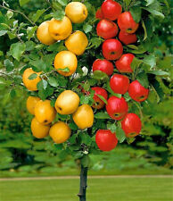 Dwarf bonsai apple tree 20 Seeds Pick Delicious Fruits In Your Backyard