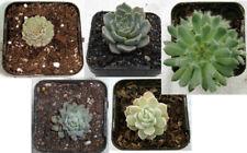 Echeveria collection - easy-care miniature succulents
