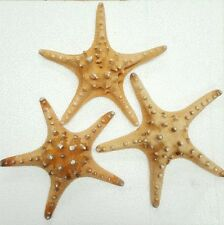 "Lot of 3 BEAUTIFUL EXTRA LARGE THORNY STARFISH 8"" / 22cm - 100% narural & real !"