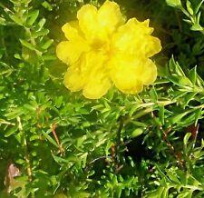 Hibbertia vestita (prostrate) in 75mm supergro tube native plant groundcover