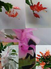 5xChristmas Cactus Cuttings. Schlumbergera Truncata House Plants Mixed varieties