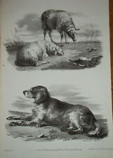 Litho anglaise ANIMAUX CHIEN de BERGER MOUTON SHEEP 1834 FAIRLAND DOG SHEPPERD
