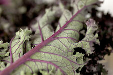 500 RED RUSSIAN KALE Brassica Oleracea Vegetable Seeds