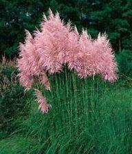 Jumbopflanze, reichblühendes Pampasgras dicke zartrosa Wedel Solitär im Großtopf